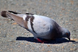Pigeon eating at the park