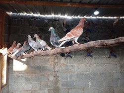 Pigeon farm. Pigeon usually lives in pairs. They recognize their partners even when separated.