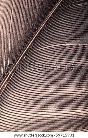 pigeon feather closeup