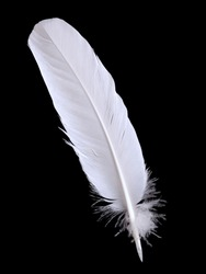 pigeon feather  on the black background