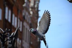 Pigeon, Flappy bird, Gdansk, PL. 02.04.2016.