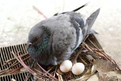 Pigeon hatching eggs