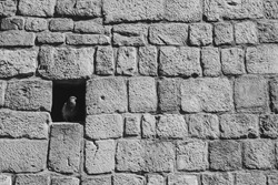 Pigeon hides from the heat in the hole of old, medieval church wall. Black and white photography.