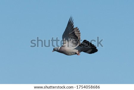 pigeon inflight with low light blue sky ストックフォト ©