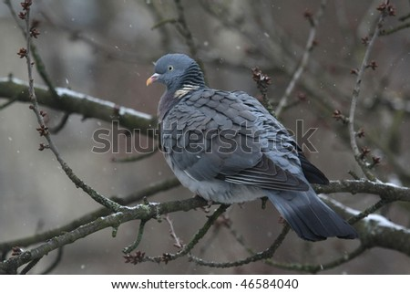 pigeon on a branch at winter time viii
