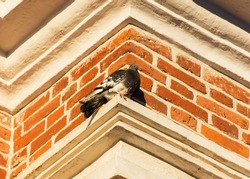Pigeon on a brick wall background view from below. Orange brick pattern. Architectural element of the facade. Old building. Portrait of a bird in soft focus.