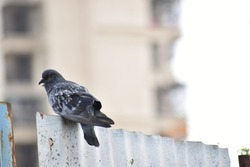 Pigeon on a ground or pavement in a city. Pigeon standing. Dove or pigeon on blurry background. Pigeon concept photo. Drink water