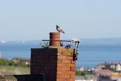 Pigeon on chimney
