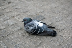 Pigeon on Dam Square in Amsterdam.
