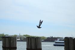 Pigeon on Dock Mid Flight Wings Bird Feathers