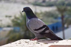 Pigeon on my Window Bukeh