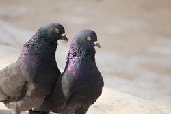 pigeon on rocks