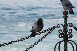 pigeon on the fence sea