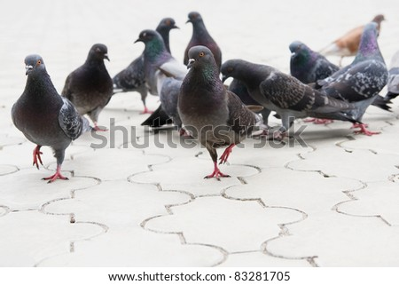 Pigeon on the ground