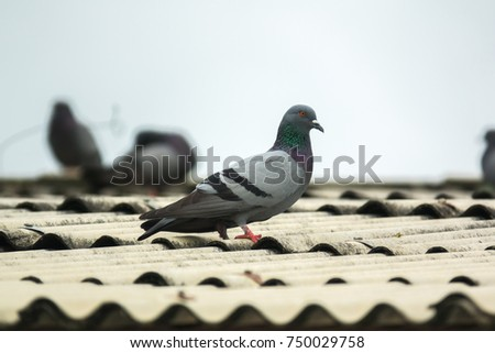 pigeon or dove on roofs. In picture see gray tile roof and a beautiful background of sky and cloud. Pigeon is gray and brown mixed together looking at camera was impressed and fresh (Dove concept)