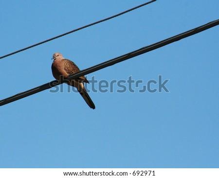 Pigeon resting - stock photo