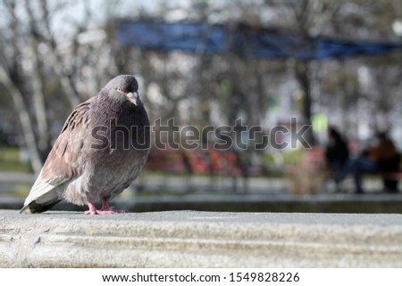 Pigeon ruffled up in the city park. Portrait of animal bird looking at the camera. Copy space for text. Blurred background