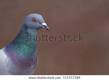 Pigeon; sharp, highly detailed portrait against a beautifully blurred brown background; City of Philadelphia, Pennsylvania