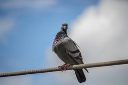 pigeon sit in electric wire