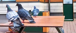 pigeon sits on a cafe table color