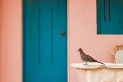 Pigeon sitting in front of terrace with blue door and pastel pink wall. Travel to Egypt