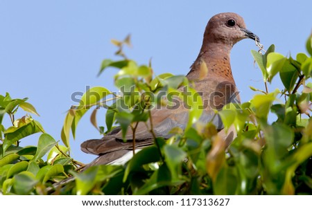 pigeon sitting on a tree in green leaves. - stock photo