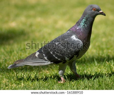 Pigeon sitting on grass with close cropping