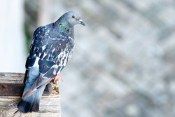 Pigeon sitting on wooden part of roof. The rock dove, rock pigeon, or common pigeon is a member of the bird family Columbidae.