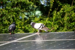 pigeon stand on solar cell panel green tree background