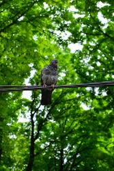 Pigeon standing on power cable. A pigeon perched on the electrical wiring. Green treetops in background.