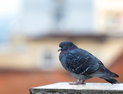 Pigeon standing on terrace. Dove, pigeon on blurry background. Copy space.