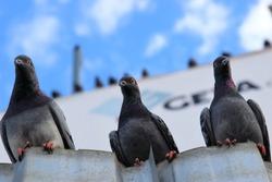 Pigeon Three Friends