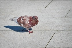 Pigeon walking on a paved path in the park. City bird pigeon walking along the gray paving slab. Close-up.