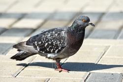 pigeon walks along the embankment