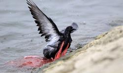 Pigeon wrapped in a plastic bag near the Danube river in Zemun, Belgrade, Serbia.