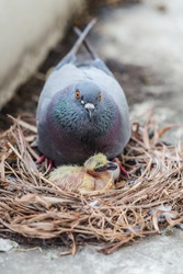 Pigeons and Birth of a yellow little