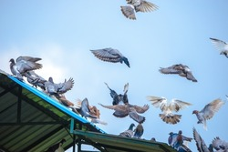 Pigeons and doves are stocky birds with short necks and short slender beaks. The species commonly known as