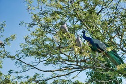 Pigeons and peacock perched on the tree branch of Campo Grande Park in Valladolid, Spain