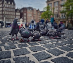 Pigeons are eating bait in a main square of city