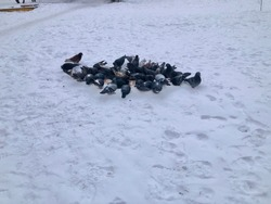 Pigeons are eating food. Feeding the birds in winter. Russian Winter