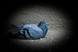 Pigeons are gentle, plump, small-billed birds with a skin saddle between the bill and forehead. All pigeons strut about with a characteristic bobbing of the head. Because of their long wings