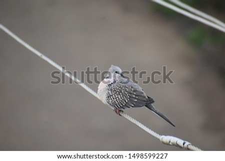 Pigeonsare gentle, plump, small-billed birds with a skin saddle (cere) between the bill and forehead.