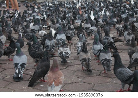 Pigeons are gentle, plump, small-billed birds with a skin saddle (cere) between the bill and forehead. All pigeons strut about with a characteristic bobbing of the head.