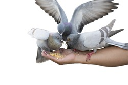 Pigeons are scrambling to eat feed on the hand, another one pigeon spread wings gracefully among a flock of bird, with isolated background.