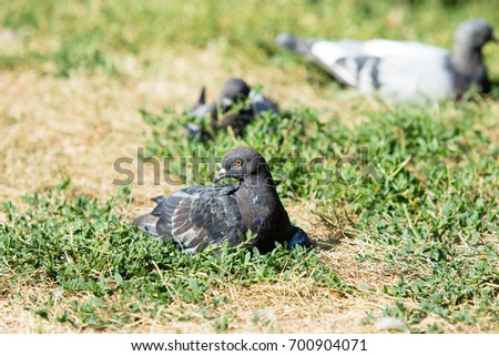 Pigeons are sitting in the grass #700904071