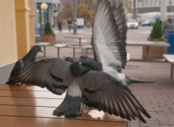 Pigeons fight on sidewalk cafe table