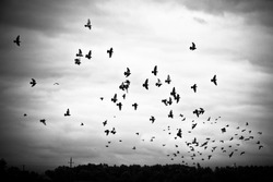 Pigeons flying in the sky in groups, black&white