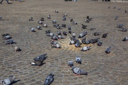 Pigeons  in Amsterdam , Dam square