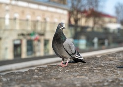 Pigeons in Tallinn park. group of birds on the ground. Birds eating and walking in the park. Birds on the wall. Male and female doves. Messanger birds. Sunny spring weather. Beautiful bird  - pigones