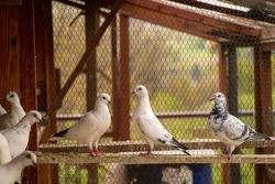 Pigeons in the cage in the pigeon house
